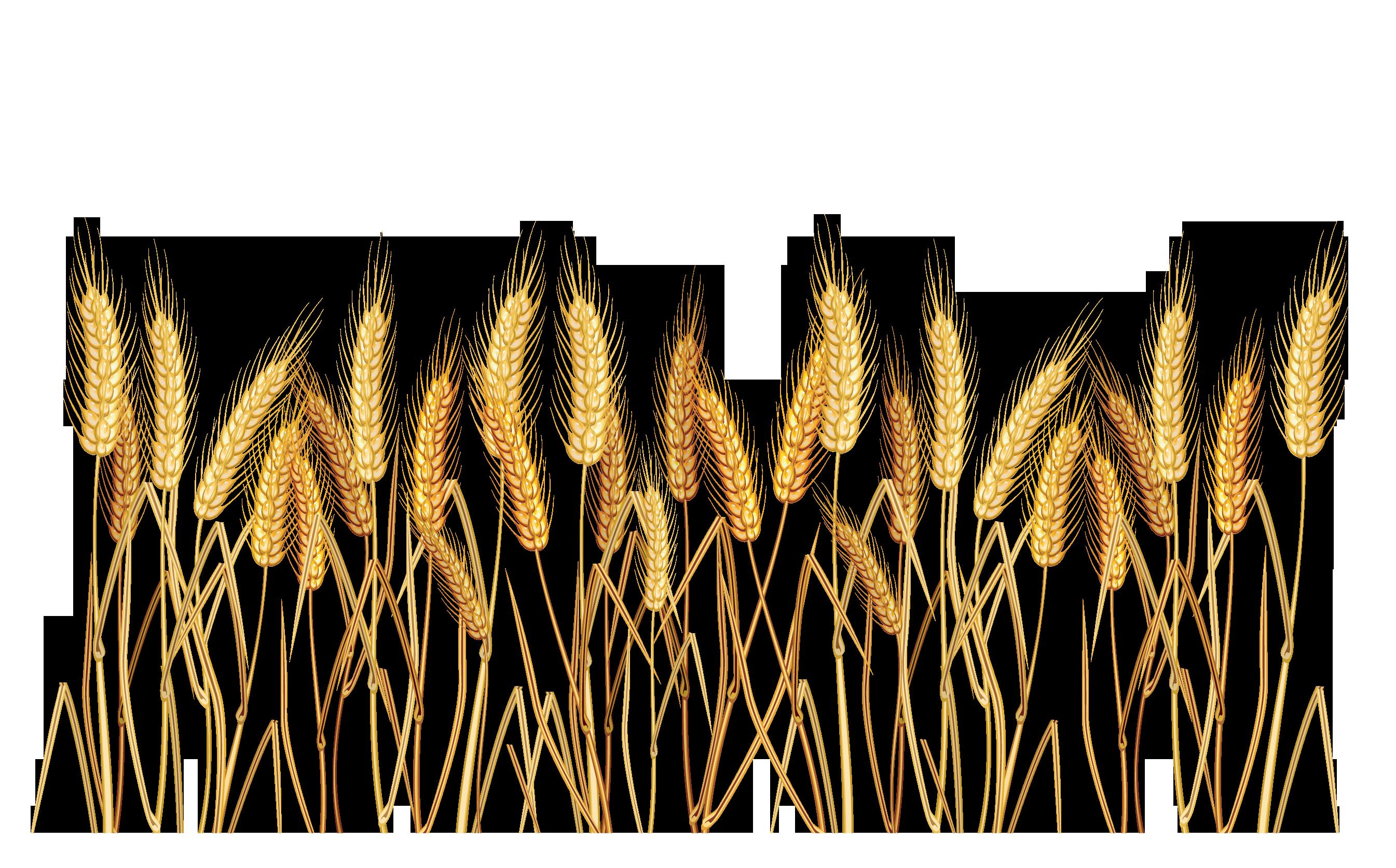 Malt clipart oat plant Wheatgrass  Transparent PNG PNG