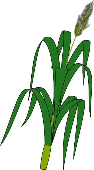 Grain clipart padi Art Clip this Wheat as: