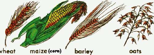 Grains clipart pioneer Planting  the EARLY farming
