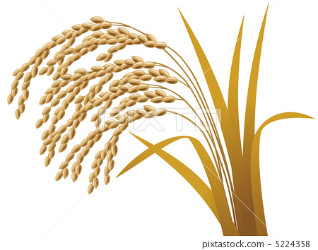 Grain clipart rice paddy Rice plant ear paddy rice
