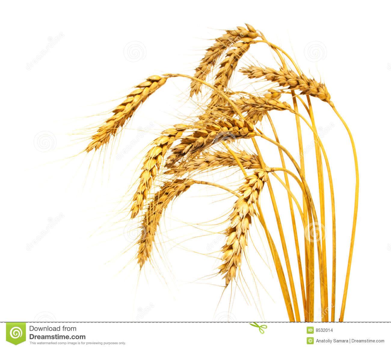 Grains clipart wheat plant Wheat Wheat cliparts Clipart Crop