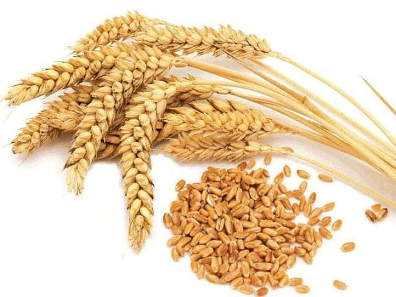 Grain clipart wheat seed Wheat Totally 5 Seeds Sprouting