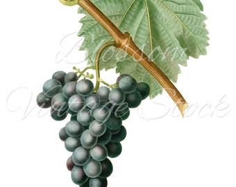 Grape clipart grape leaf Graphic Vintage Grape Grape Grape