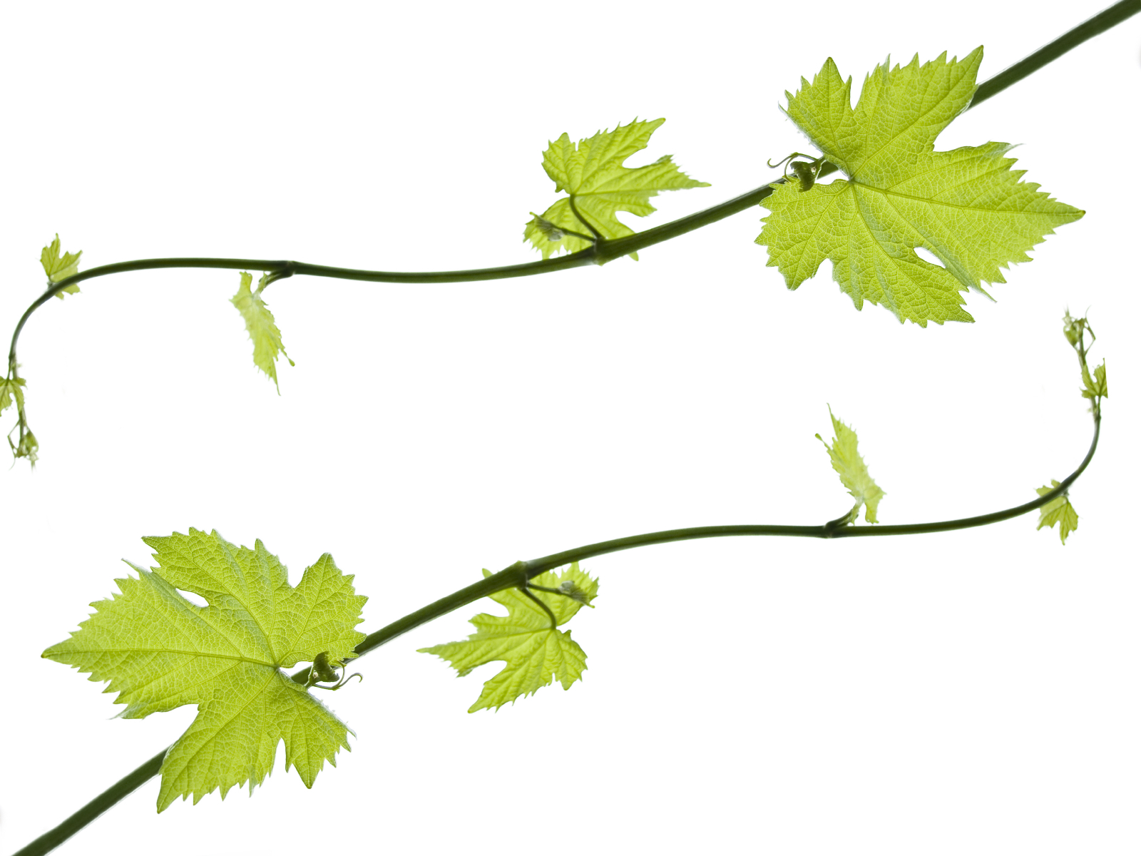 Grape clipart grape leaves Art Clip Free Arts