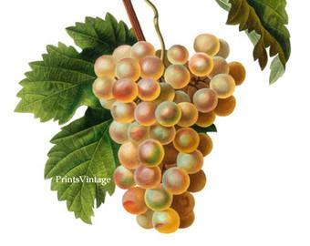 Grape clipart printable Studio Grapes Vintage Grapes Instant