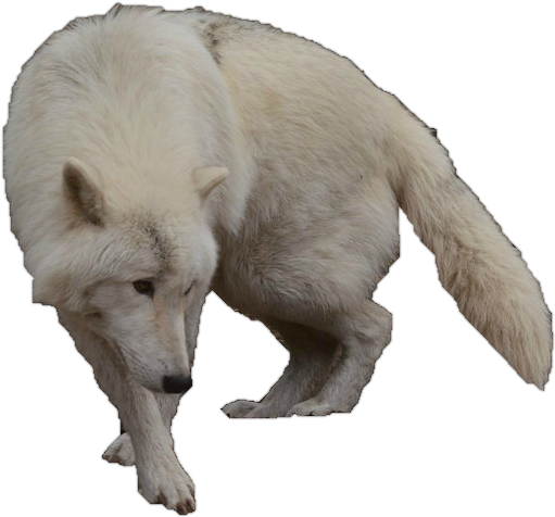 Arctic Wolf clipart transparent Arctic WolfLover10122 WolfLover10122 by Wolf