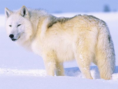 Arctic Wolf clipart gray wolf Wolf 108 images Pinterest on