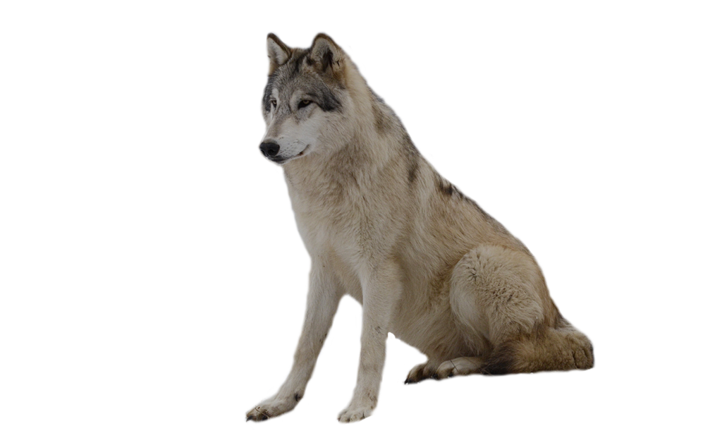 Wolf clipart transparent background Photo Isolated Wolf noBACKS Size