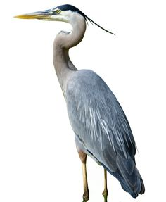 Great Blue Heron clipart #11