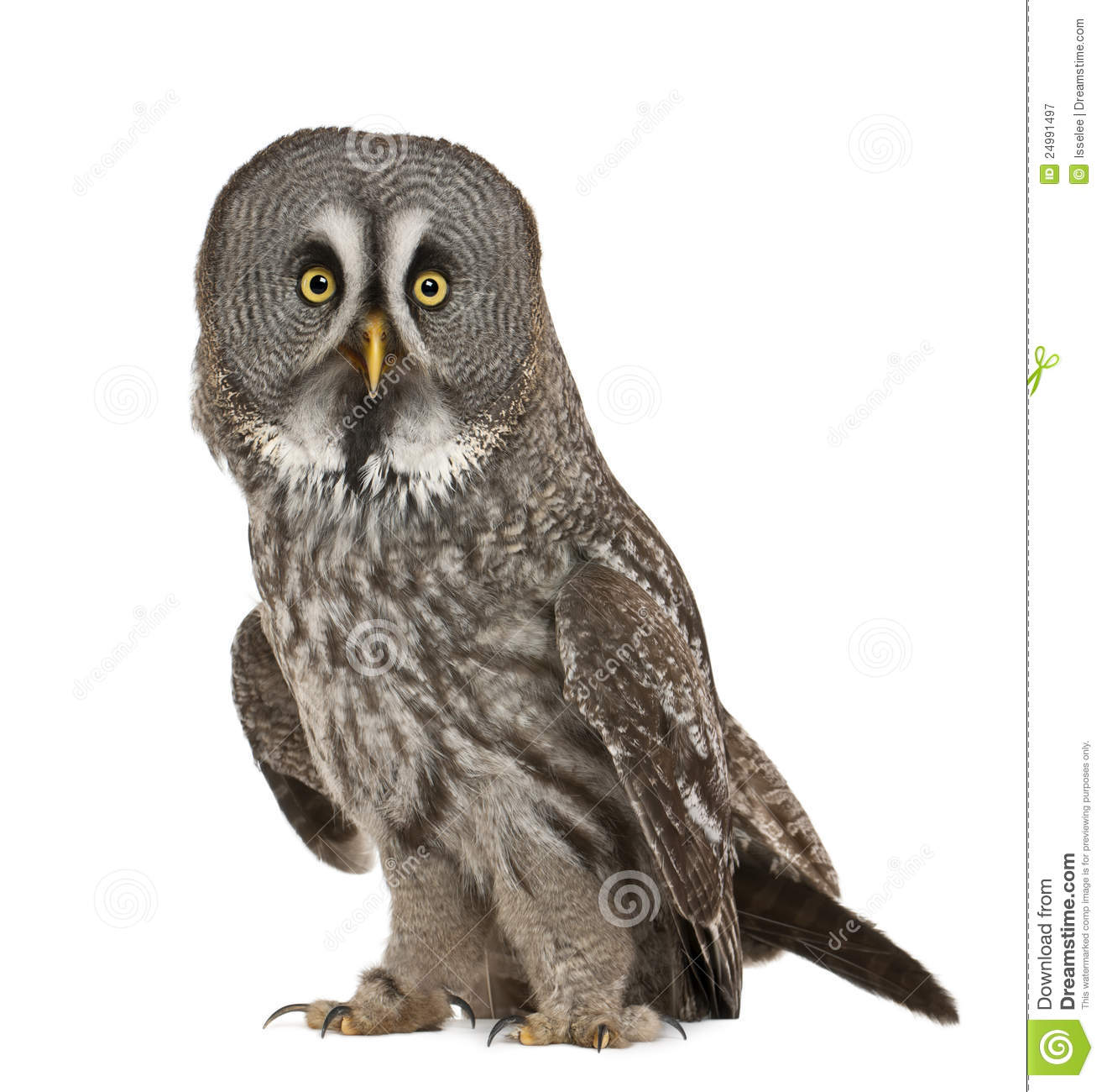 Great Gray Owl clipart #1