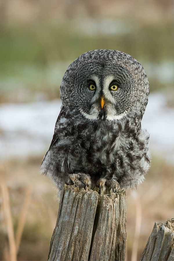 Great Gray Owl clipart #8