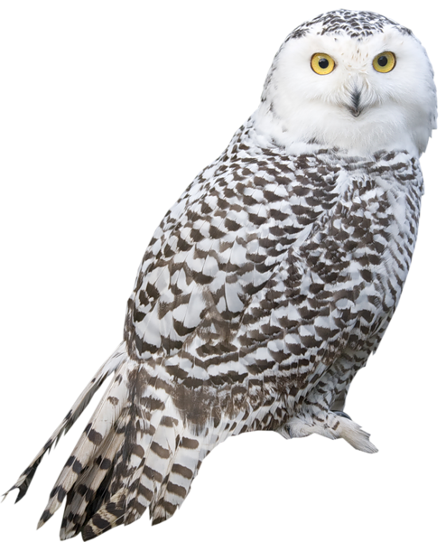 Great Gray Owl clipart #12