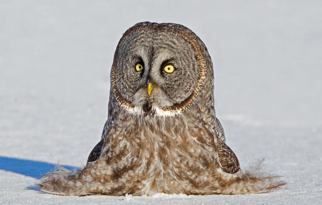 Great Gray Owl clipart #10