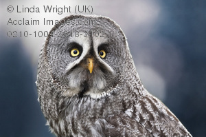 Great Gray Owl clipart #14