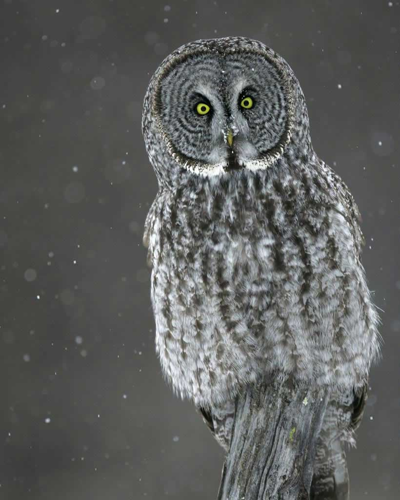 Great Gray Owl clipart #2
