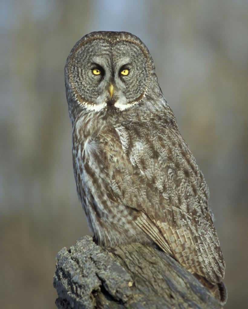 Great Gray Owl clipart Audubon adult Gray Field Great