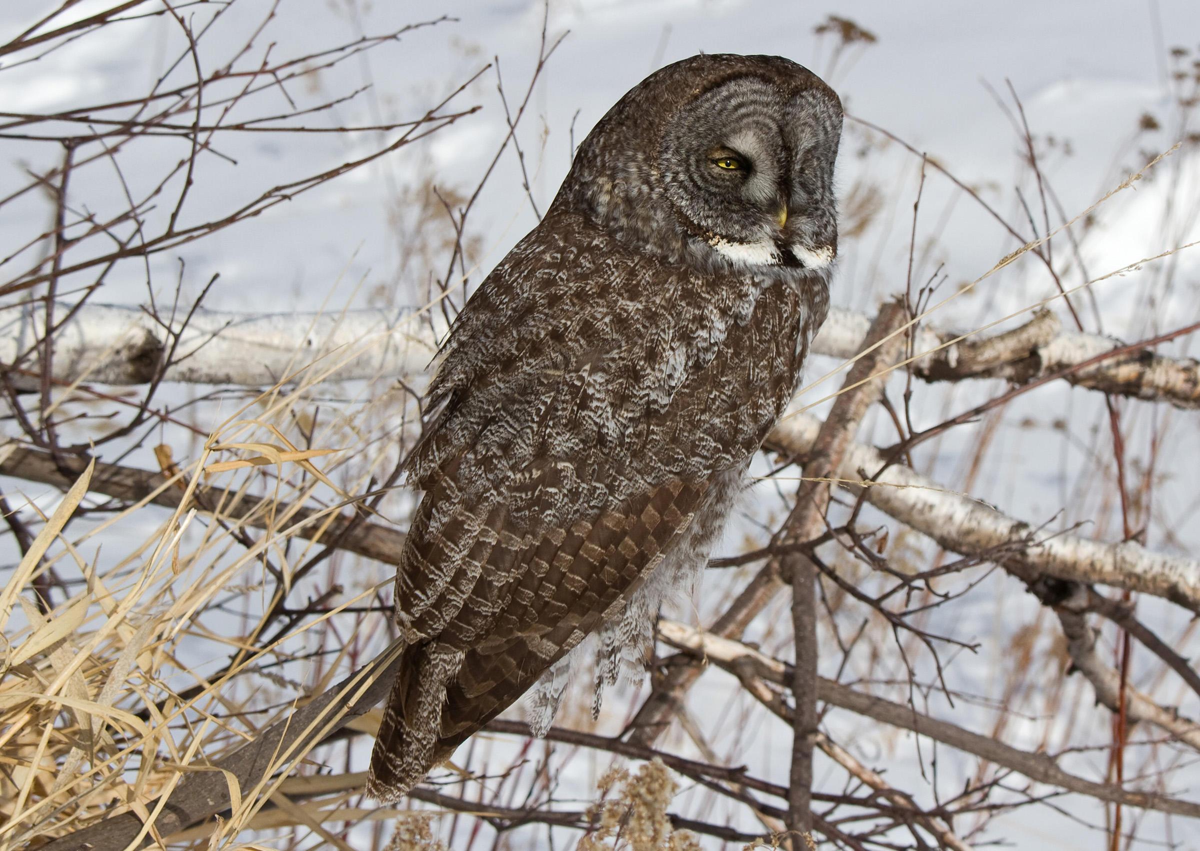 Great Gray Owl clipart Participant Backyard Gray Photo: L