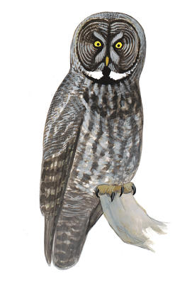 Barred Owl clipart burrowing owl Gray eared Great Short Audubon