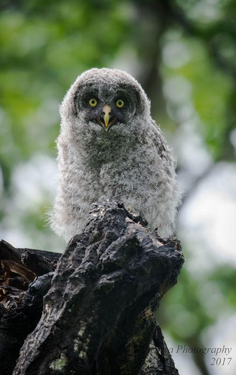 Great Gray Owl clipart face #15