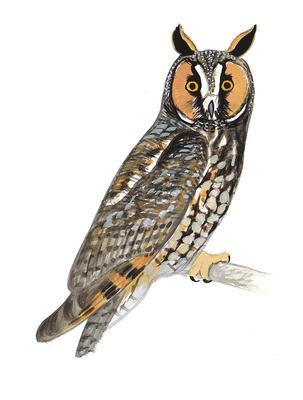 Great Grey Owl clipart Owl Guide Audubon Owl Horned