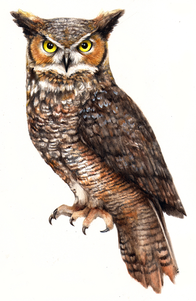 Great Grey Owl clipart Download Horned Download Great Owl