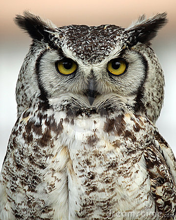 Great Horned Owl clipart Owl Great Horned #13 Download