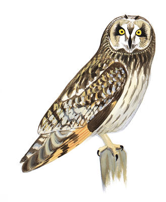 Peregrine Falcon clipart audubon Short Great Owl Guide Field