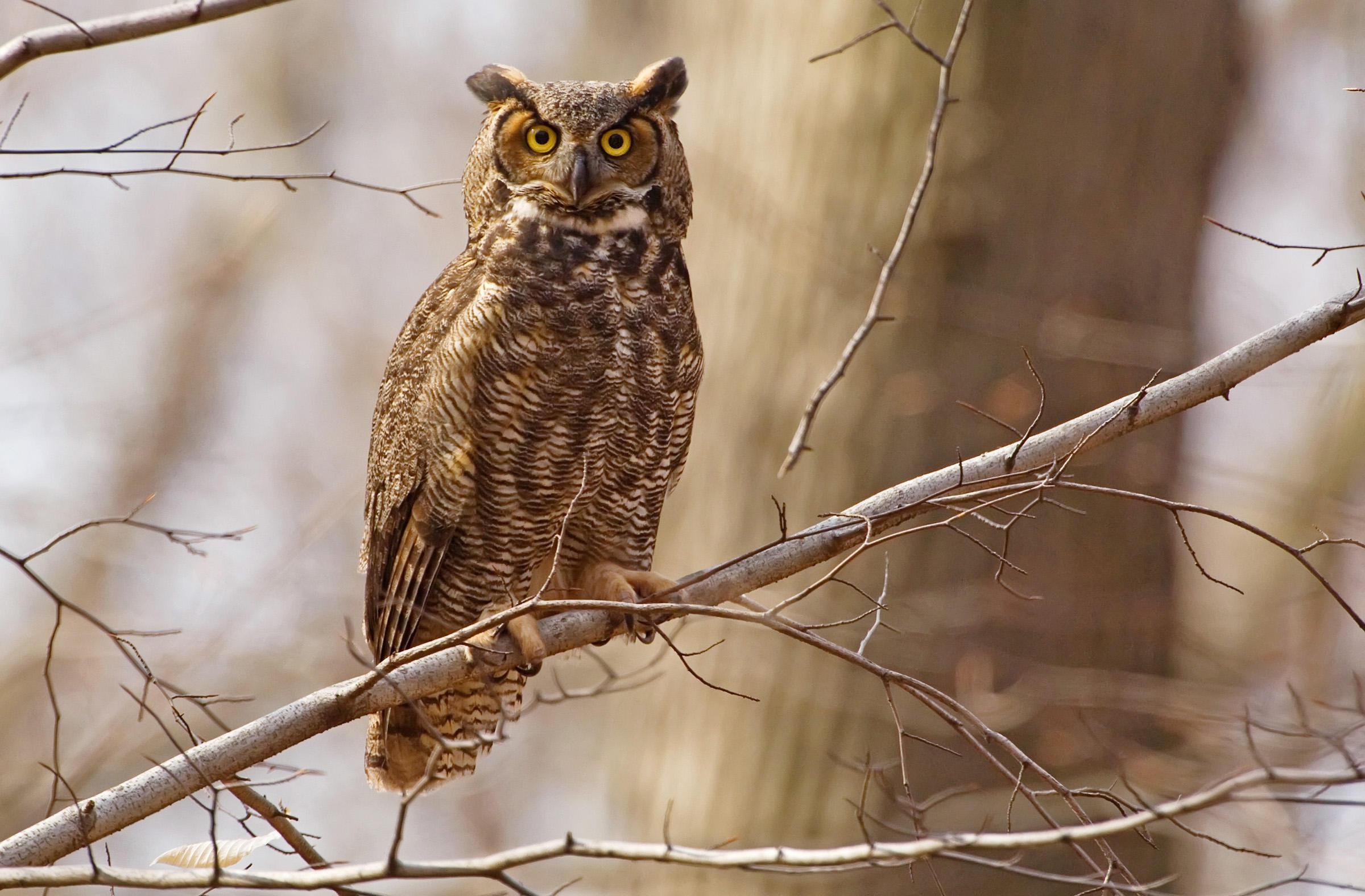 Brown Hawk Owl clipart night owl Great Photo: Schumacher/Vireo Owl Field