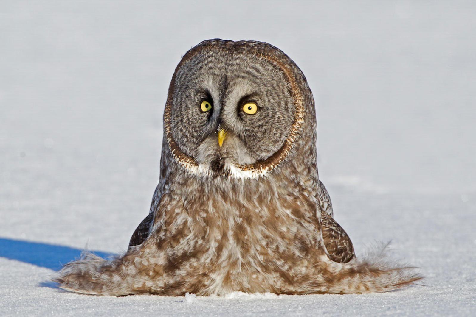 Barred Owl clipart smart About Audubon Owls Fun Facts