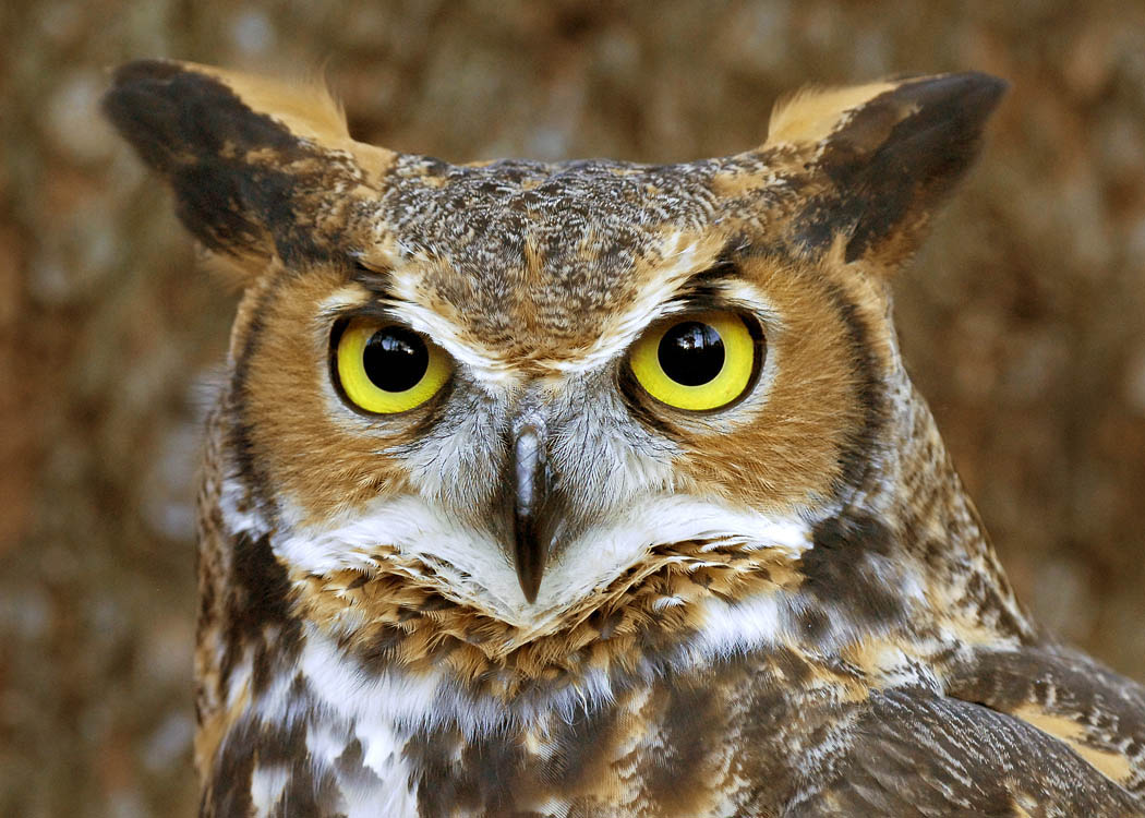 Barred Owl clipart face The owl images best jpg