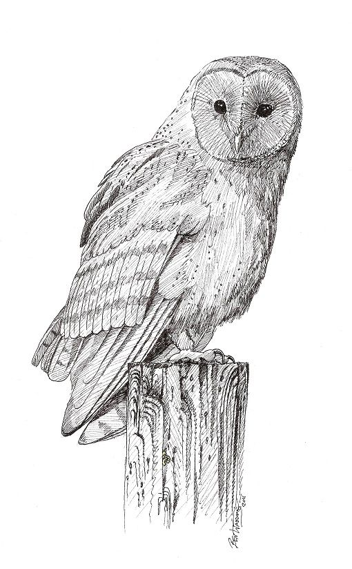 Brown Hawk Owl clipart sketch Barn Owl Owl Pencil Pics