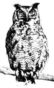 Barred Owl clipart black and white Horned Owl Great Owl Drawings
