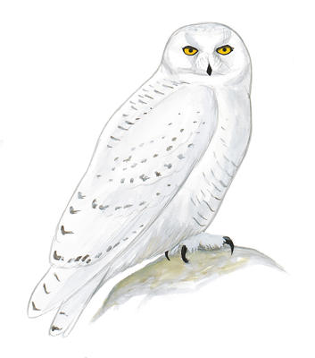 Burrowing Owl clipart snowy owl Great Owl clipart Great Download