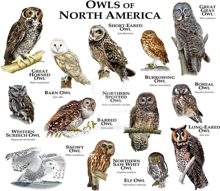 Barred Owl clipart face On species owl Pinterest illustration
