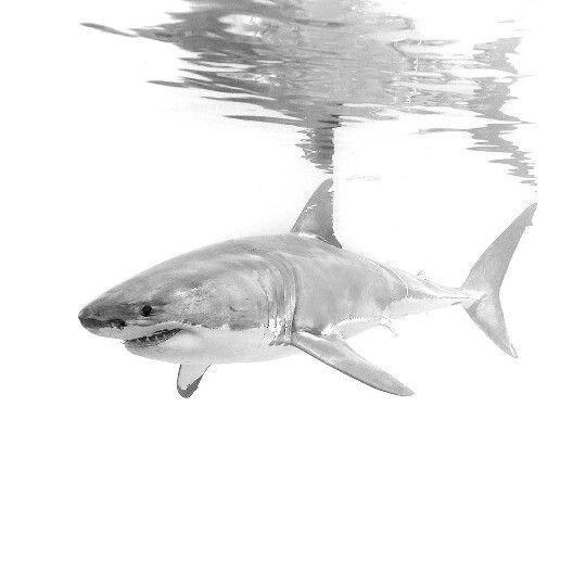 Drawn shark great white shark Ideas scars as shark! Whale
