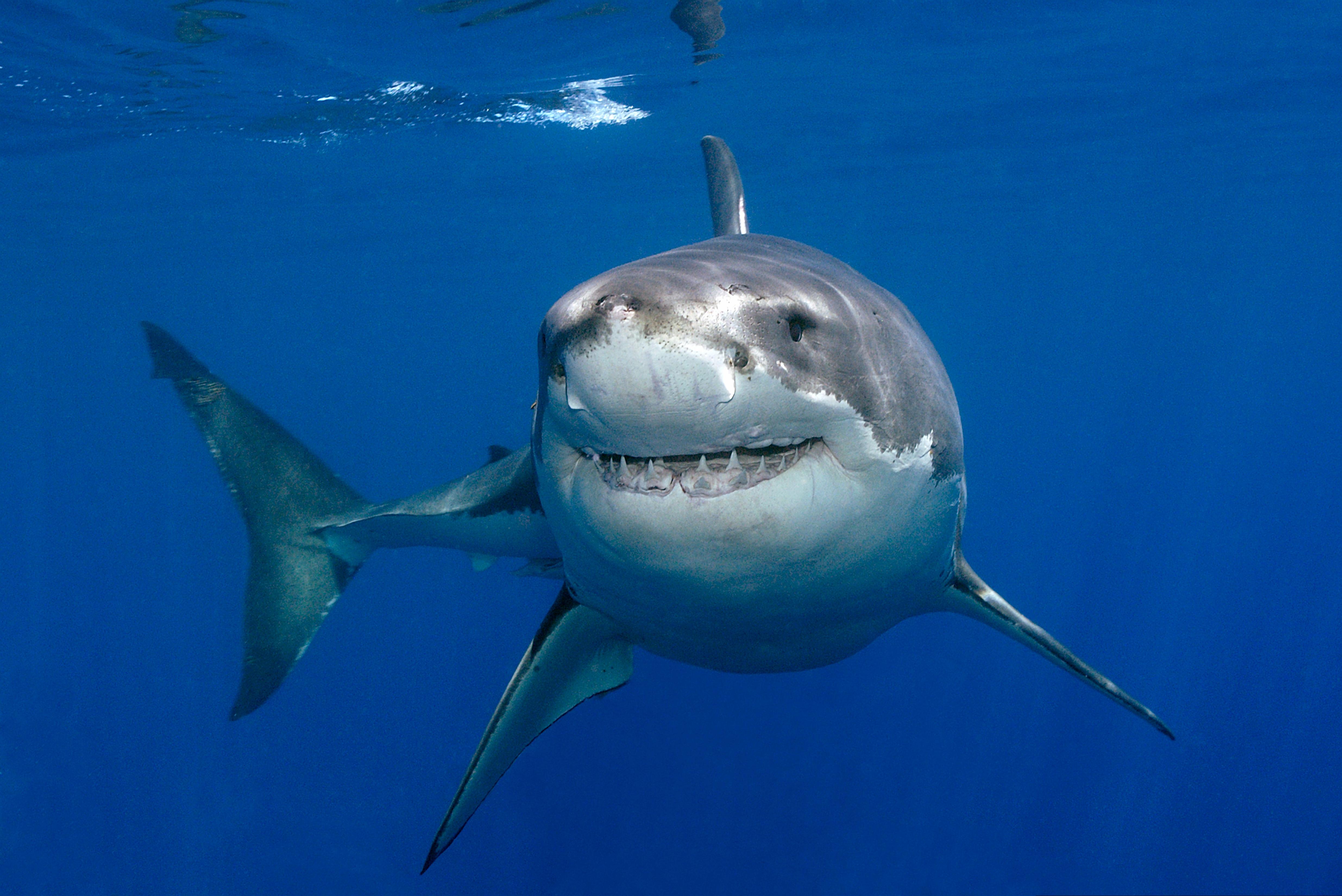 Shark clipart great white shark #15