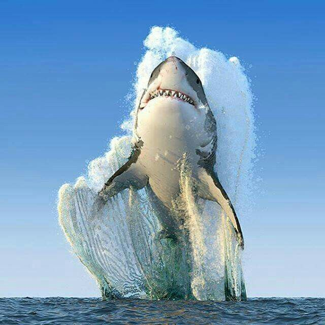 Drawn sea shark attack Africa  the shark white