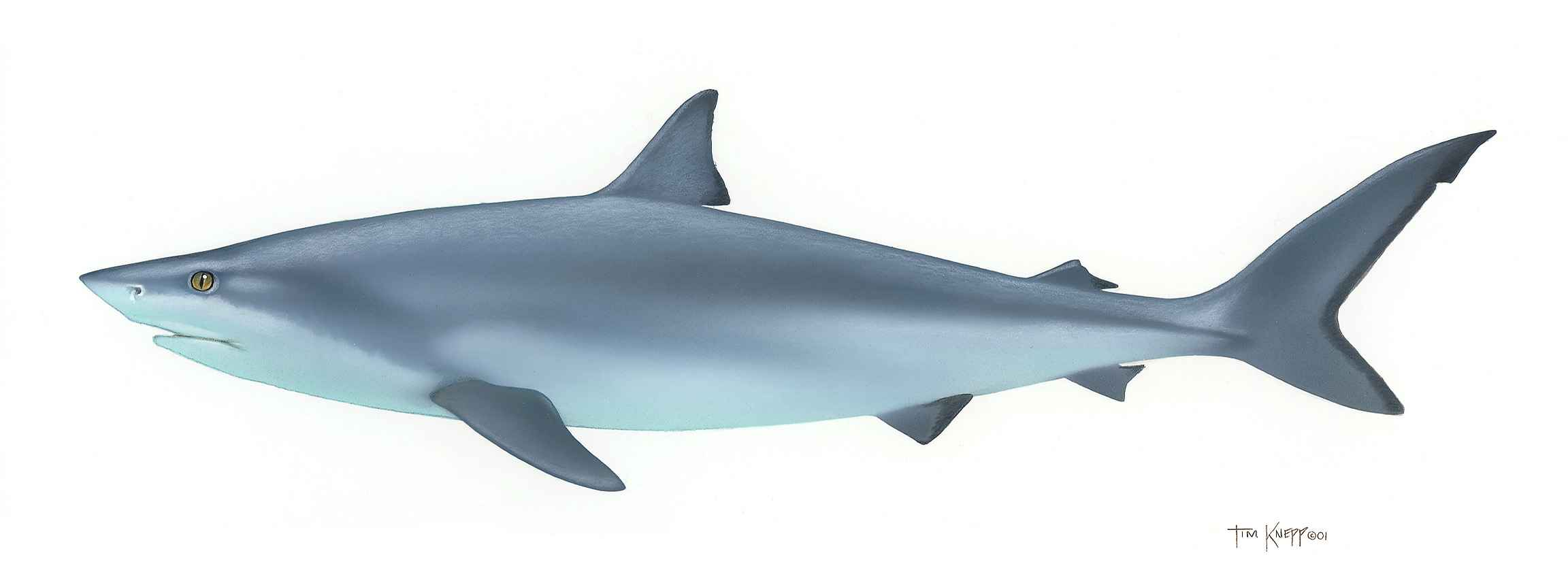 Bull Shark clipart blue shark Bird and Bird Box Search