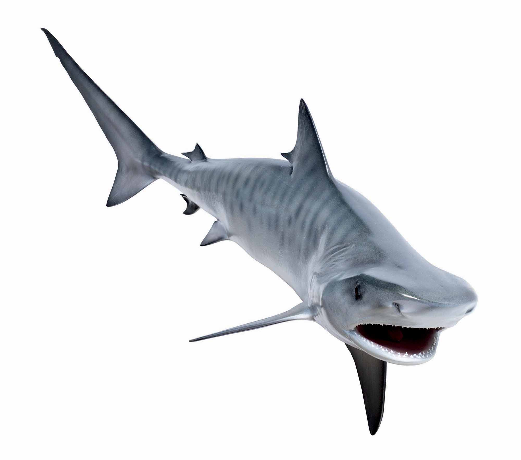 Tiger Shark clipart simple #1