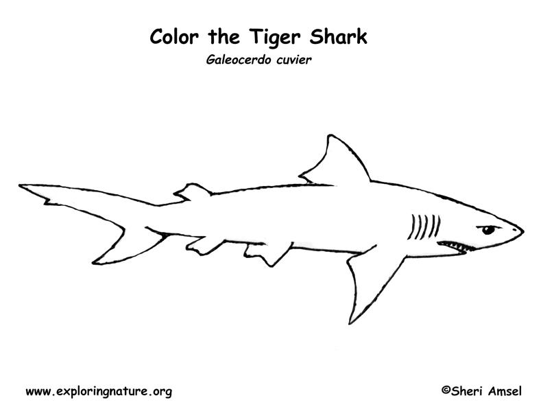 Tiger Shark clipart printable #5