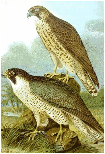 Falcon clipart peregrine falcon Peregrine Download Clipart Falcon Art