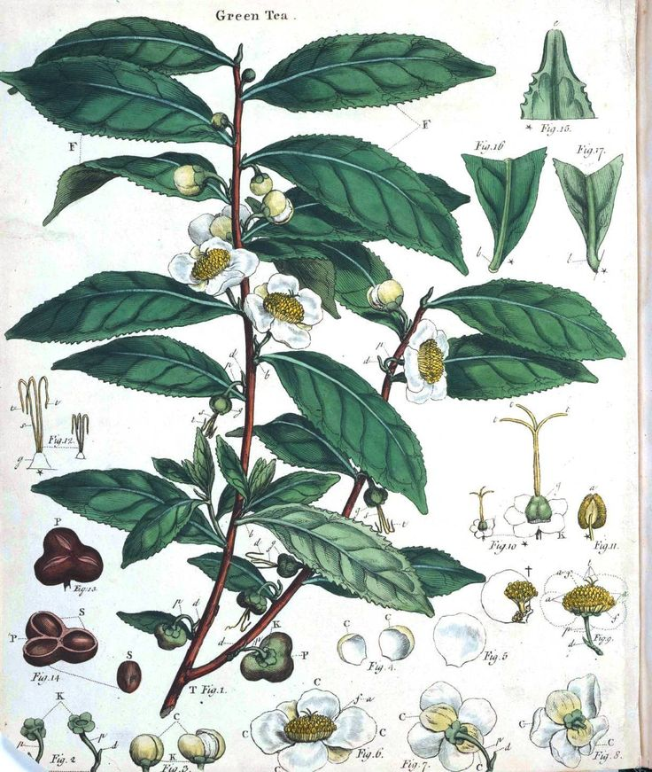 Green Day clipart tea plant Pinterest 25+ Tea Best tea