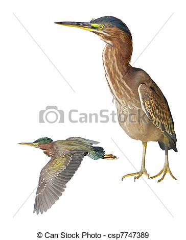 Green Heron clipart Isolated of and flying and