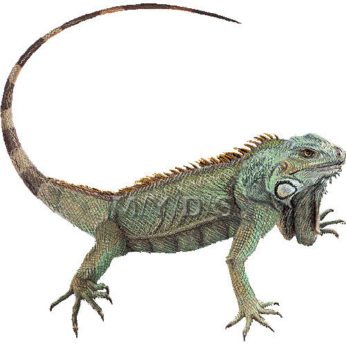 Green Iguana clipart Iguana Common Iguana clipart picture
