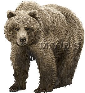 Grizzly Bear clipart brown color Clip White Free Art Bear