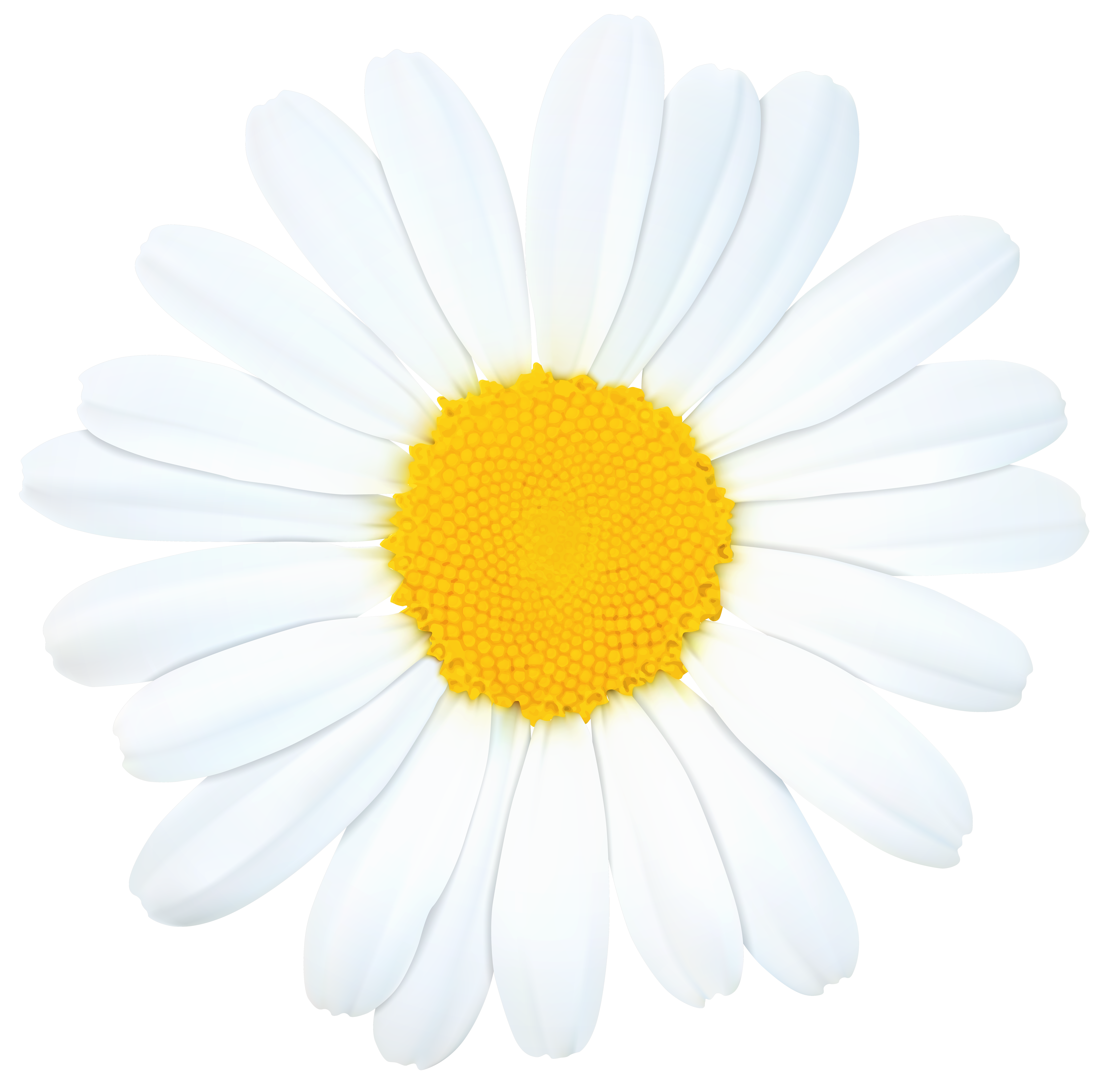 Camomile clipart png format Gallery Clip View High size