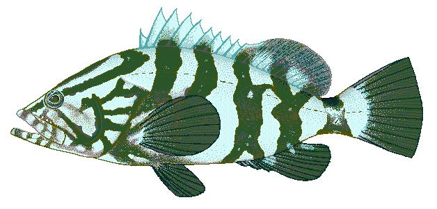 Grouper clipart Epinephelus Clip Art Nassau Grouper