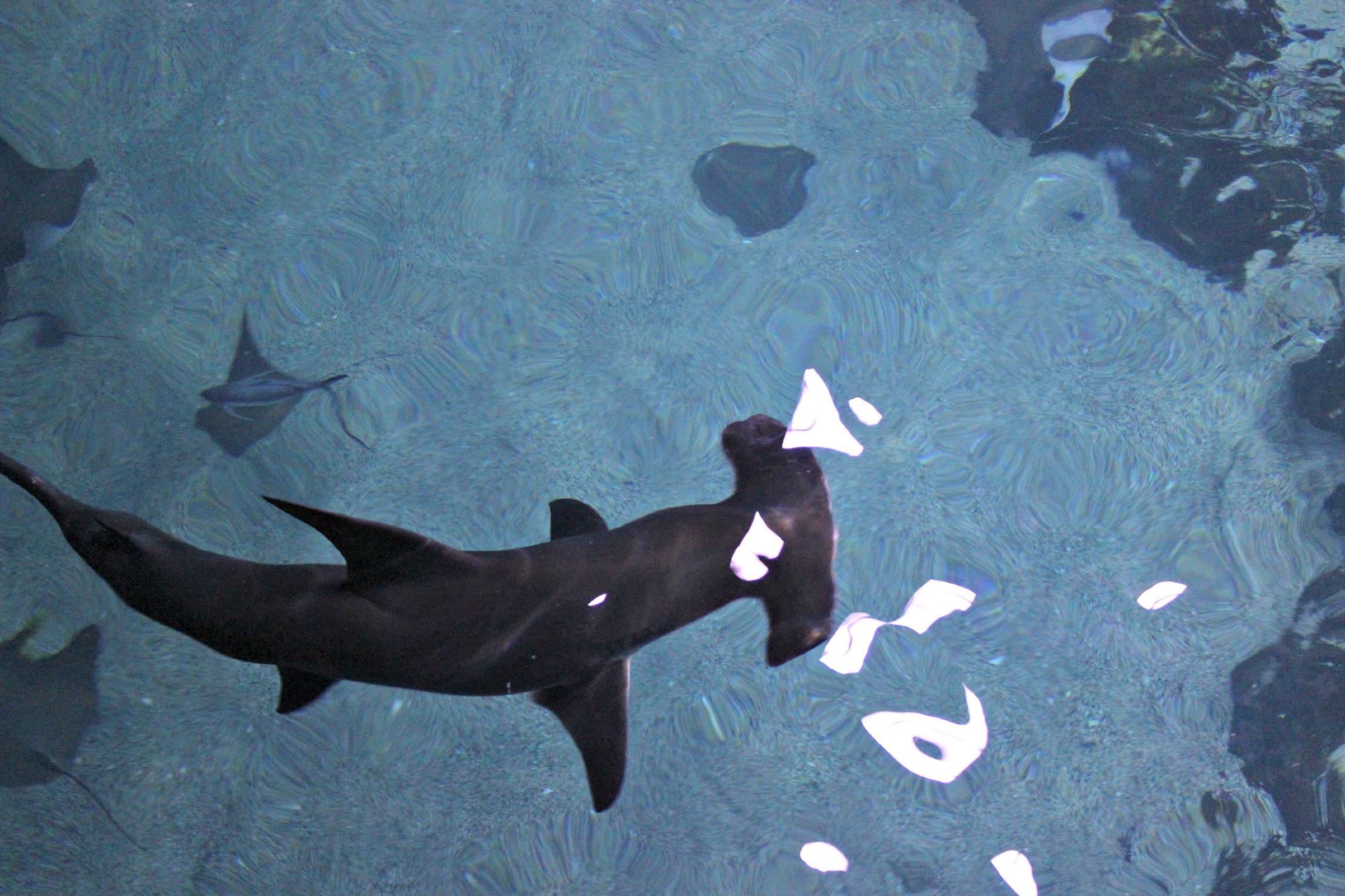 Hammerhead clipart aquarium He Adventure 10 biologists Official