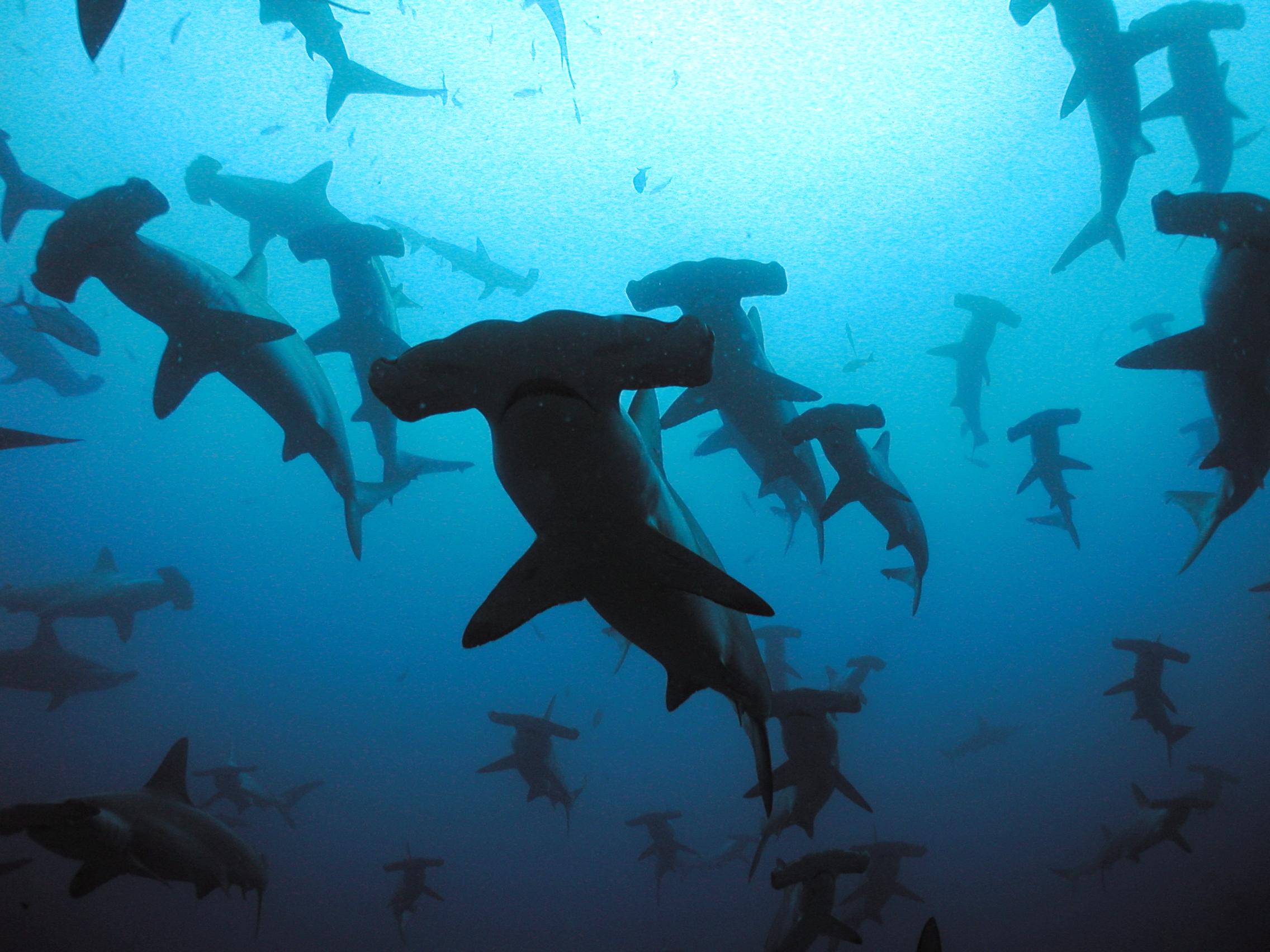 Hammerhead clipart great white shark  Great Clipart Shark wallpaper