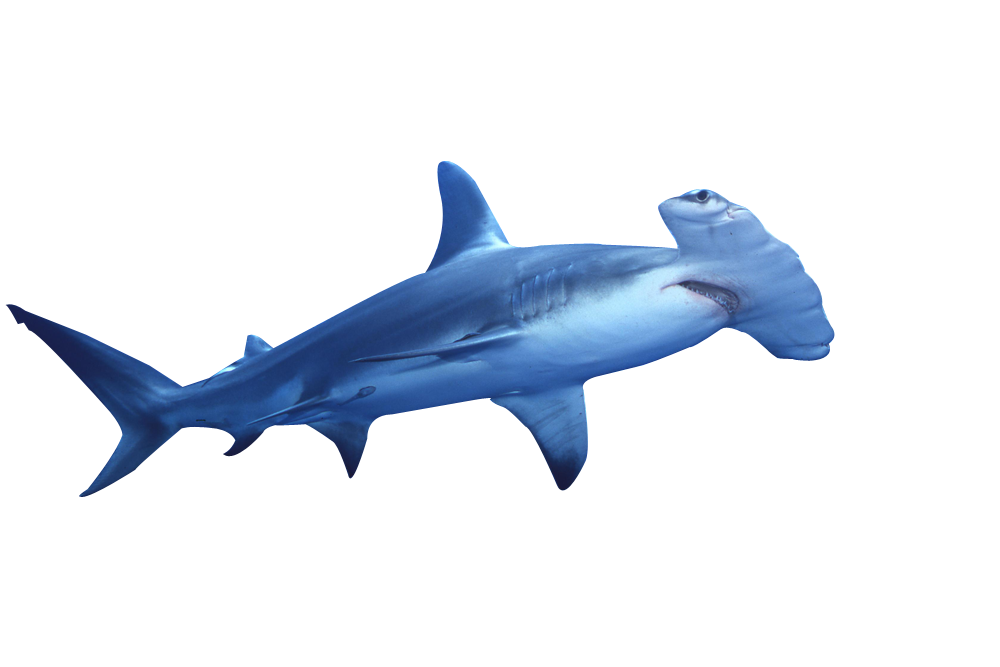 Hammerhead clipart sea animal Hammerhead Shark Clip  Pinterest